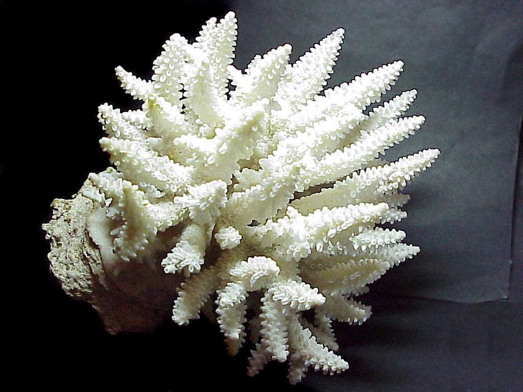 коричневый коралл на юге японии